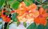 Fleurs tropicales orange à st-Martin carabes