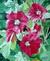 Roses tremieres du jardin