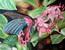 Papillon rose sur frangipanier rose à St-martin (antilles)